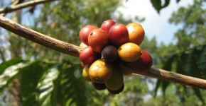 Coffee Bolaven Plateau