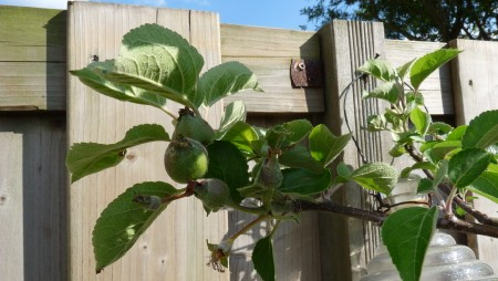Dutch Apple Tree