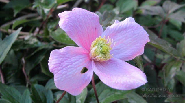 clematis monana in Holland