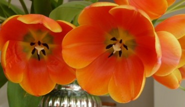 dutch tulips on Queen's Day
