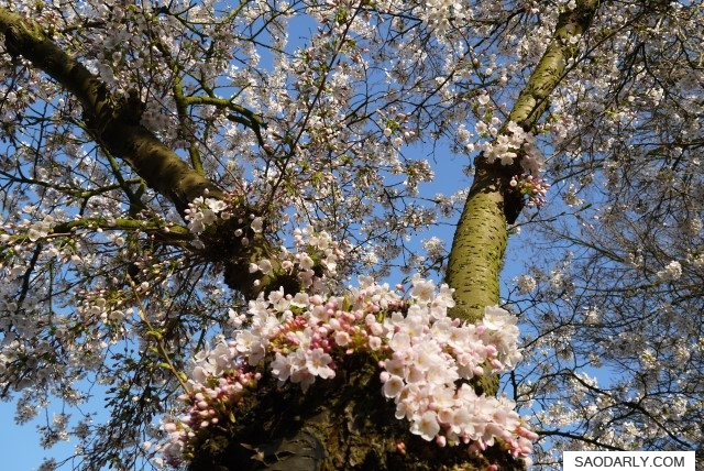 Cherry Blossom in Holland