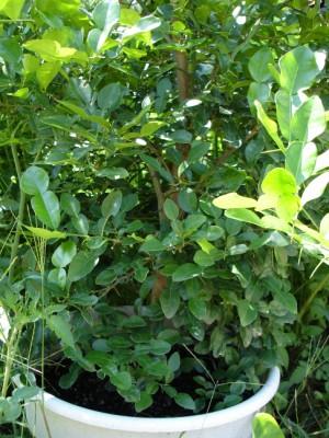 Lao Garden Kaffir Lime Tree