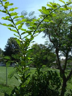 Kaffir Lime Tree in Lao garden