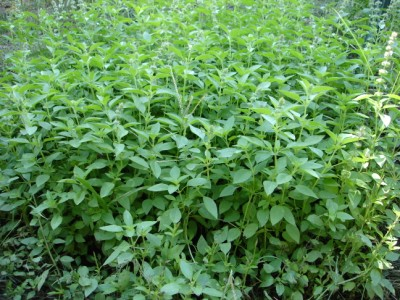 lao garden - lemon basil