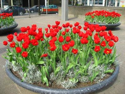 Tulips in Rotterdam
