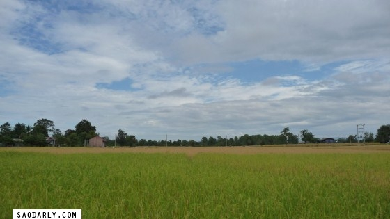 Rice Paddy in Pakse