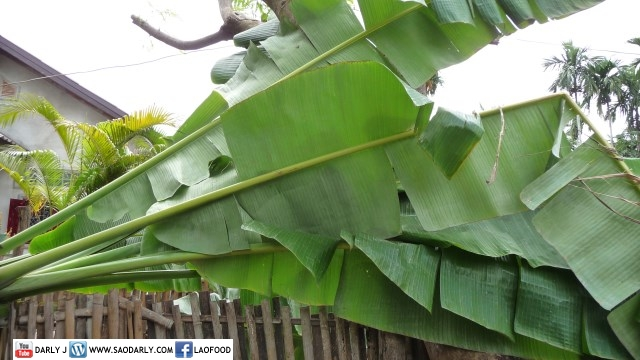 banana tree in Pakse