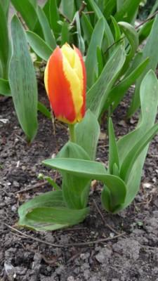 Stresa Kaufmanniana Tulip
