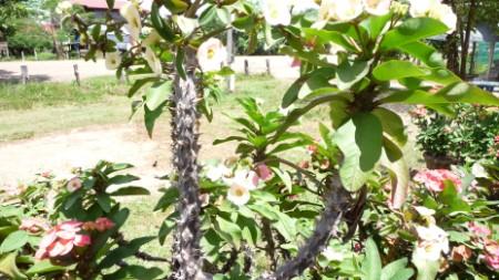 Euphorbia milli