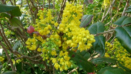 Yellow Flowering Shrub