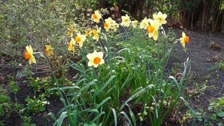 Narcissus Jonquils