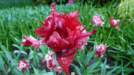 Tulip at Keukenhof