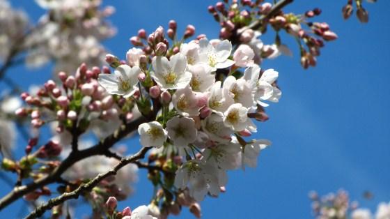 Cherry Blossom on my mind