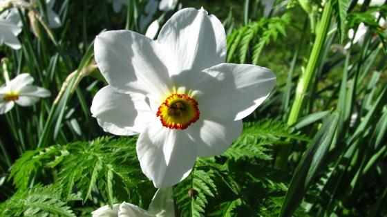 Narcissus poeticus in April
