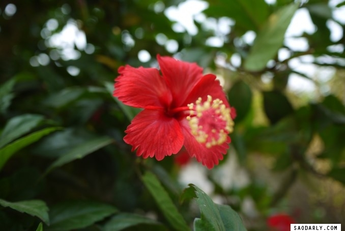 Hibiscus in Laos