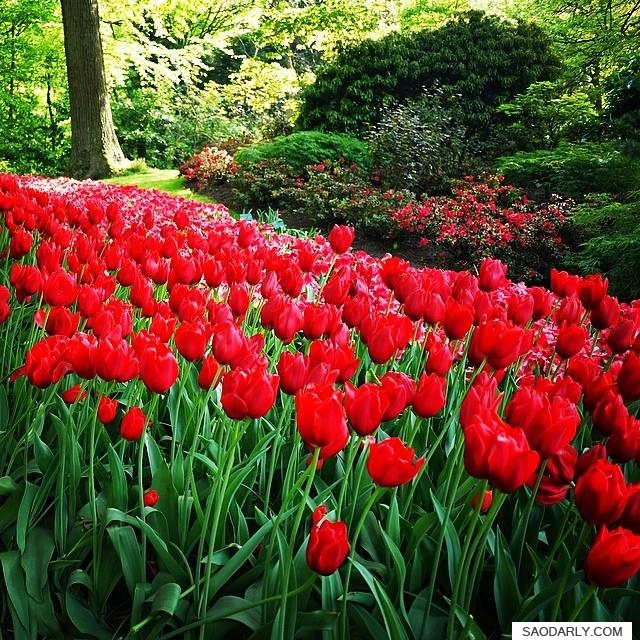 Dutch Red Tulips